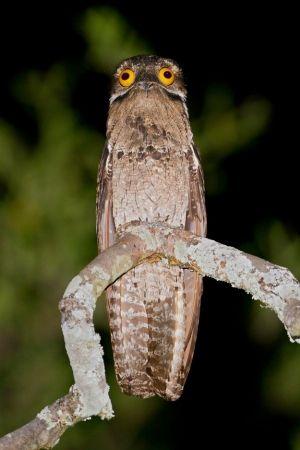 The Potoo Bird