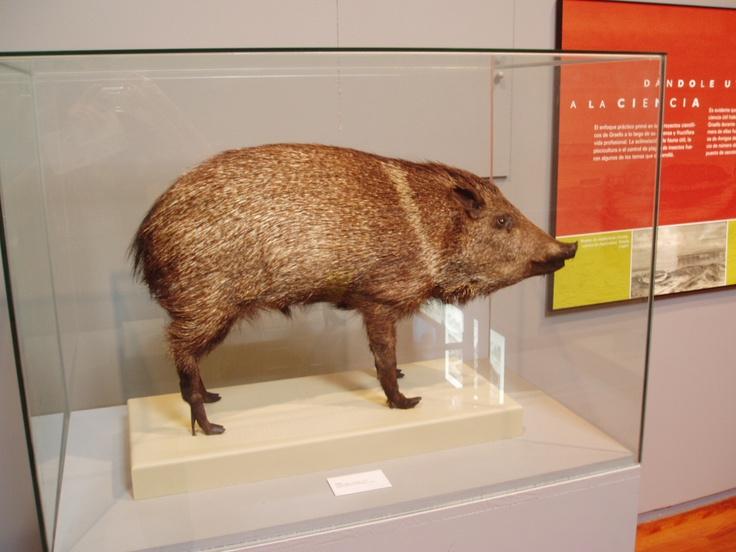 Ejemplar disecado de pecarí de collar en el Museo Nacional de Ciencias Naturales de Madrid, España.