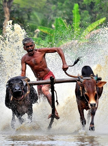 Bull Surfing, Kerala, India