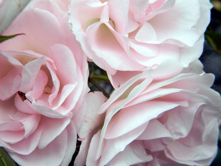 Rosa 'Aspirin'