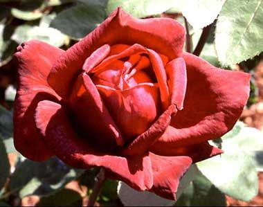 The Oklahoma rose was designated the official state flower of Oklahoma in 2004. One of the most fragrant of hybrid tea roses, the Oklahoma rose is dark red, nearly black velvet in warm weather. Long pointed buds open into huge, fully double blooms that are extremely fragrant with wonderfully strong, sweet old rose perfume.  The rose has been around for about 35 million years and grows naturally throughout North America. The rose is our national flower,