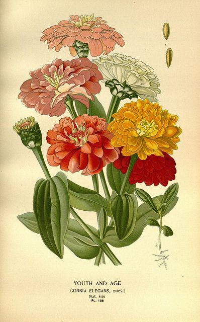 """""""Youth and Age"""" (Zinnia Elegans, vars.) / Favourite flowers of garden and greenhouse /. London and New York :Frederick Warne & co.,1896-97... by BioDivLibrary, via Flickr."""