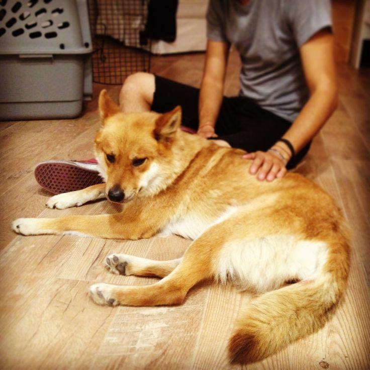 Shiba Inu Siberian Husky Mix Cute Pics Pinterest