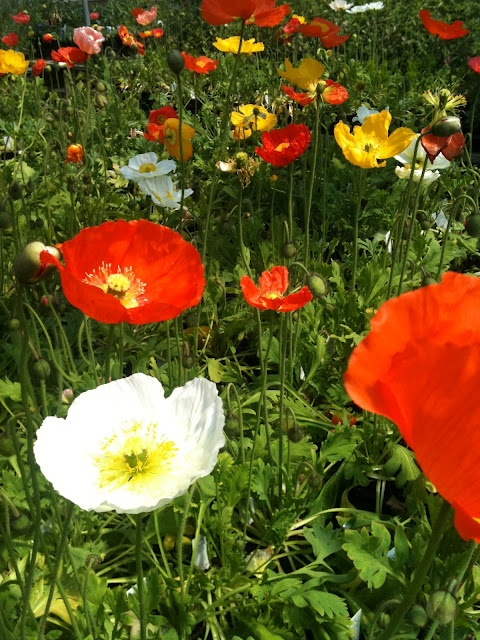 Absolutely love poppies! So delicate and vibrant! Just want hundreds of wild flowers! Especially low maintenance ones :-)