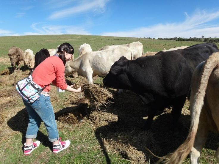 Feeding Cattle on a farmstay tours from Sydney http://toursfromsydney.com/