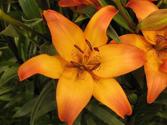 Iirio amarillo anaranjado flor