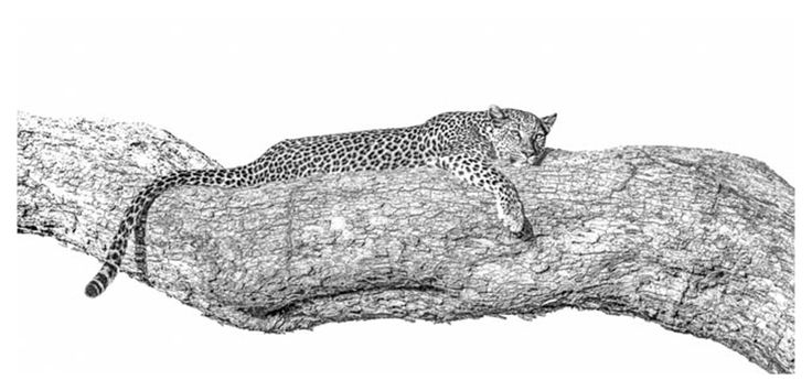 black and white panoramic print of a leopard in a tree by wildlife photographer Dave Hamman
