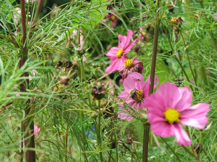 Cosmos coming to an end, still providing nectar for the local bees