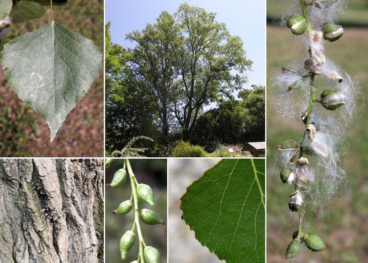 Populus nigra L. (Pioppo nero) - Comune di Pontassieve - GUIDA ALLA FLORA SPONTANEA