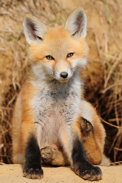 Red fox kits | Iowa red fox kit | Flickr - Photo Sharing!