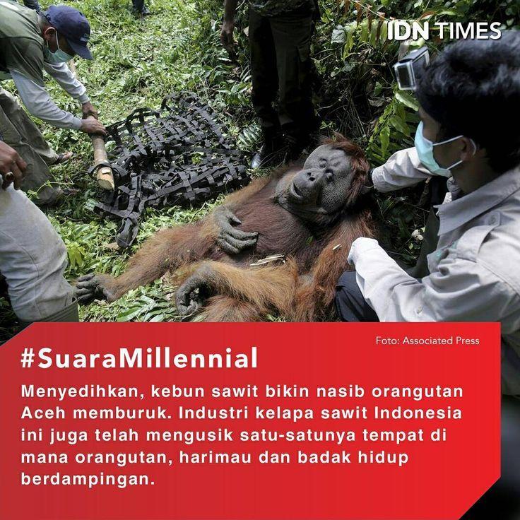 Menyedihkan, Kebun Sawit Bikin Nasib Orangutan Aceh Jadi Begini ----- Follow @IDNTimes - The Voice of Millennials and Gen Z ----- Dalam 20 tahun terakhir, industri kelapa sawit Indonesia mengalami peningkatan signifikan. Indonesia bahkan menjadi negara penghasil kelapa sawit terbesar di dunia dengan jumlah produksi 36 juta metrik ton per tahun 2016. ----- Namun, peningkatan produksi kelapa sawit ini berakibat buruk pada orangutan. Hutan gambut Rawa Tripa, Aceh seringkali disebut sebagai…
