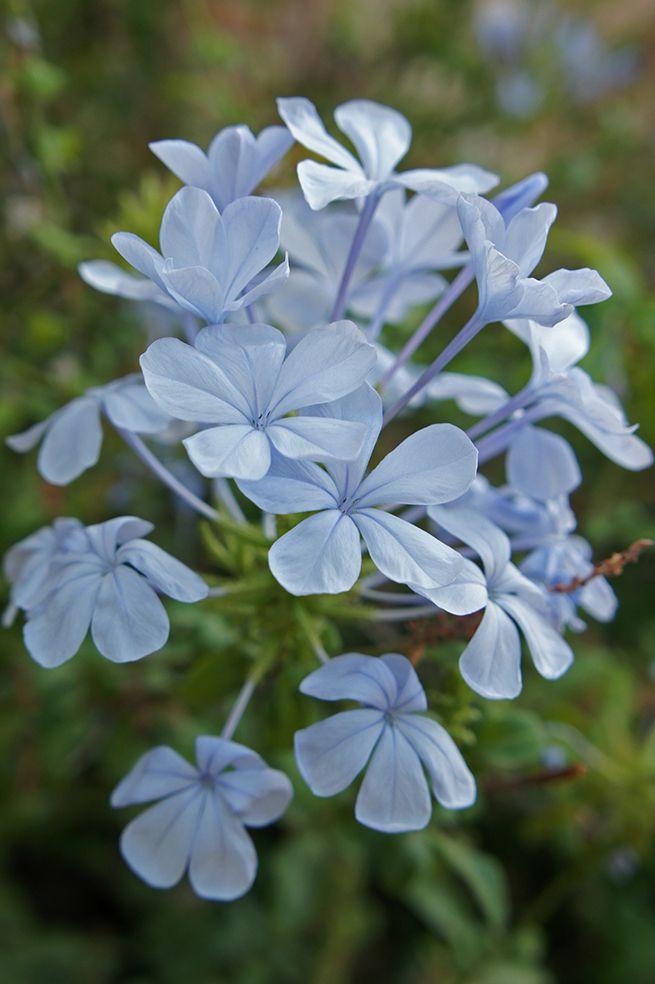 La Celestina es una planta arbustiva trepadora perennifolia procedente del Sur de África. De crecimiento rápido, alcanza con facilidad los 4 m de altura. Destaca por sus bonitas y abundantes flores que habitualmente son de color celeste aunque también existen variedades de flor azul oscuro y blanco.