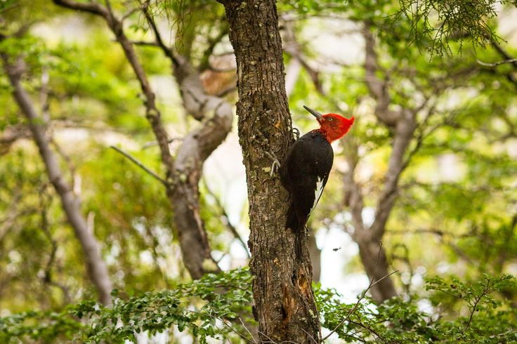 male-magellanic-woodpecker-torres-del-paine-pehoe