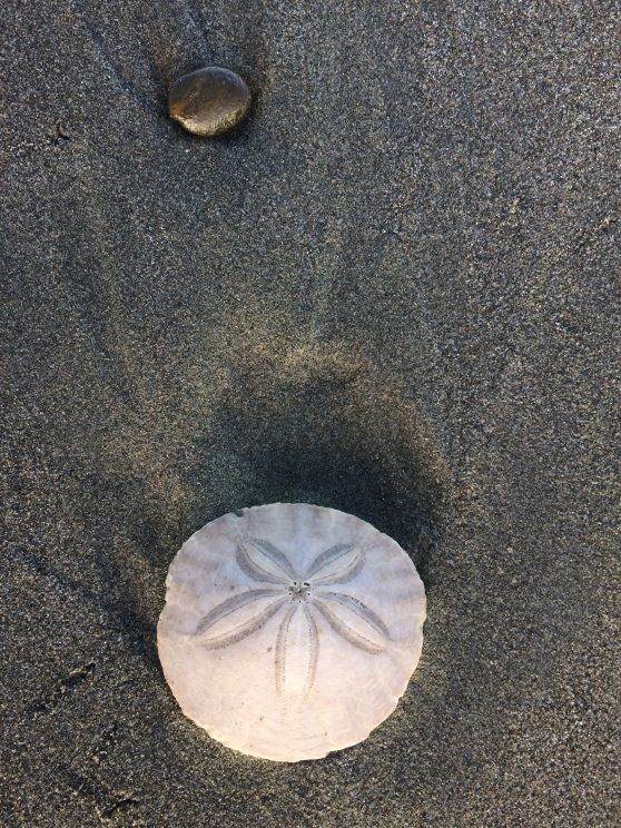 Sand dollar sea urchin on the beach at Ocean Shores, Washington State