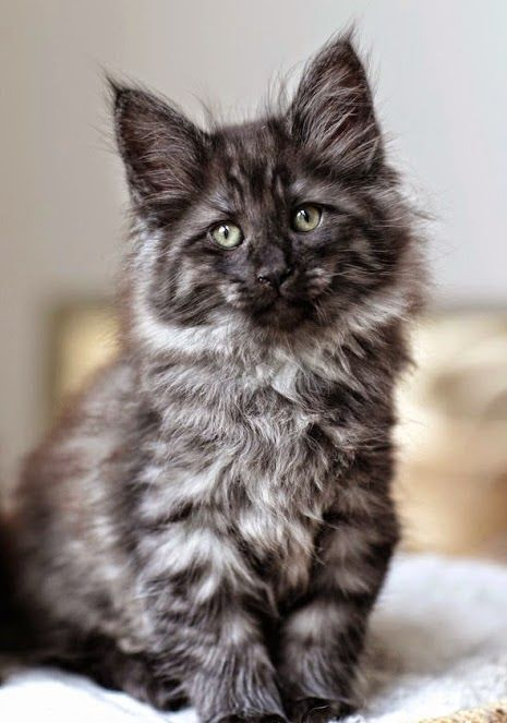 wow...not sure what kind of gray kitten this is, but it's gorgeous!  http://www.mainecoonguide.com/maine-coon-personality-traits/
