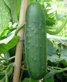 Como sembrar pepinos en mi huerto