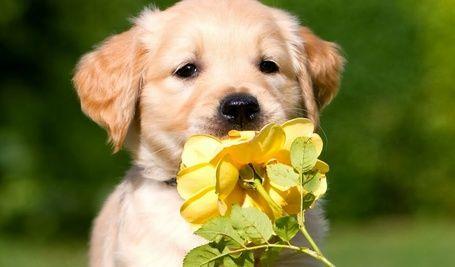 Щенок породы золотистый ретривер нюхает желтую розу