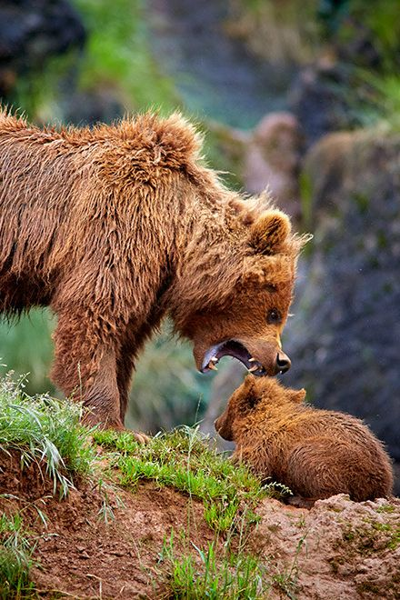 We've fallen in love with this mama Kodiak Bear giving her little one a telling off. Wonder what it did wrong?!