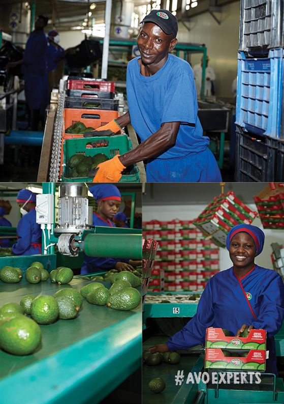 Westfalia Fruit is proud of the dedication they put into the production of each avo, from hand-picking and ripening to packing the fruit, ensuring the best results for the consumer.