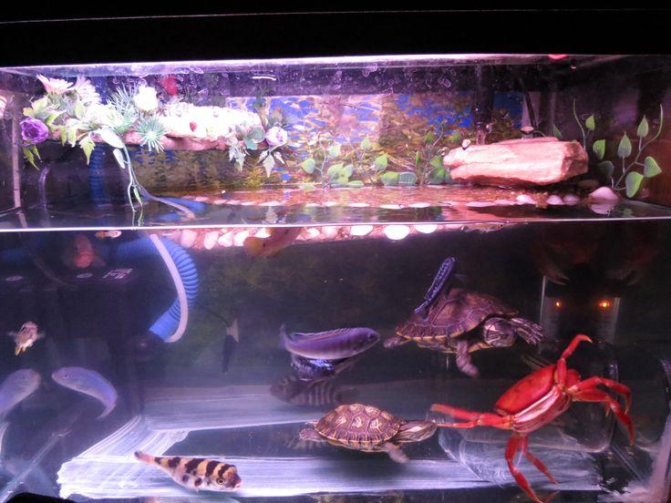 Tartaruga, baiacu, caranguejo e ciclídeos ! Community fish tank