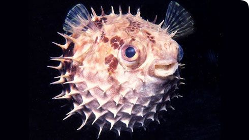 Masters of defence, the porcupinefish inflates to more than 3 times its size when threatened © Jeffrey N. Jeffords