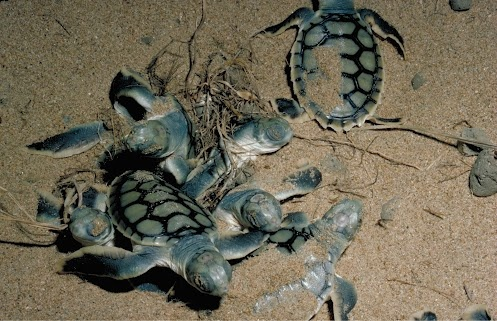 Fact: Eco Beach is one of the nesting sites for the Flatback Turtle, who only ever nest in the top half of Australia, from Exmouth in Western Australia to Mon Repos Conservation Park in Queensland. Every year from October – January, Flatback Turtles return to these areas for the nesting season.