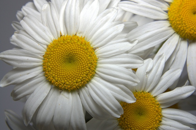 Wild Daisy by † David Gunter, via Flickr  David Gunter is my friend - Kay Gooch: Wild Daisies, Daisies Things, Gorgeous Flower, Photo