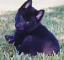 babies!Animal Pics, Puppies Dogs, Animal Kingdom, Dogs Eye, Shipperk Pup, Schipperke Mixed, Animal Farms, Big Dogs, Mixed Puppies