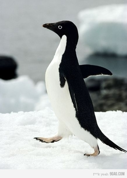 Adélie penguins can live up to 20 years. They breed and raise their young farther south than any other penguin species. A colony of Adelie penguins can have up to 250,000 pairs of birds. French explorer Dumont d'Urville named these birds after his wife Adélie.  Source: factsnfacts.com/penguins