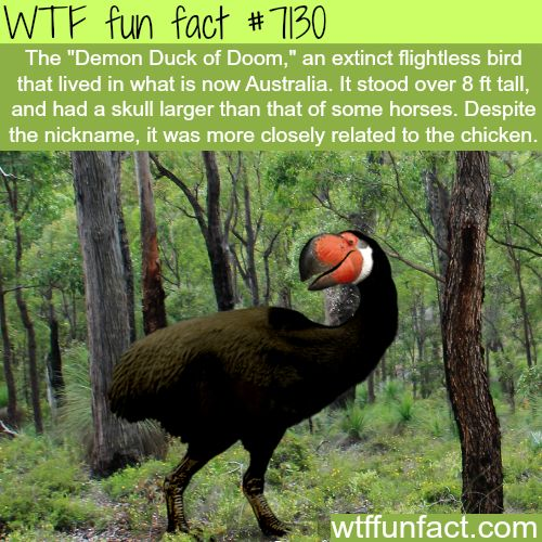 """wtf-fun-factss:  """"Demon Duck of Doom - WTF fun facts  """"  Thank god it was stopped, just another example of how Australia wants us all dead"""