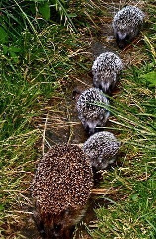 """Mom Hedgehog ~ With Her Four Young ~  Known As: """"Piglets"""" or """"Pups."""""""