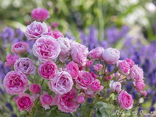Eine individuelle Zusammenstellung robuster u. gesunder Rosen. Und welche Rosen konnten Sie überzeugen? Ihre Tipps und Vorschläge sind herzlich willkommen.