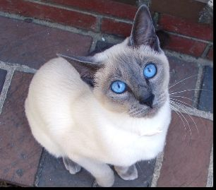 My blue point Siamese, Tiffany...this isn't her, but she has these markings...