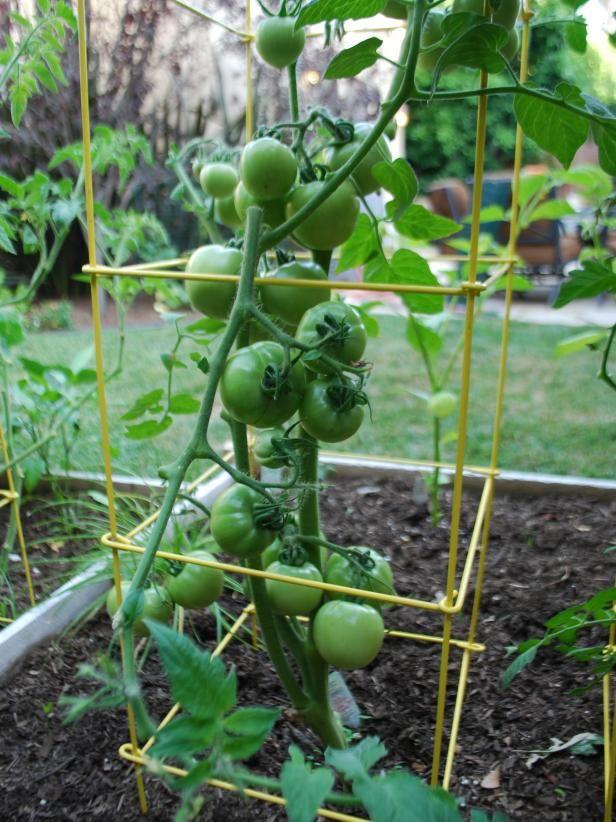 how to start a tomato garden