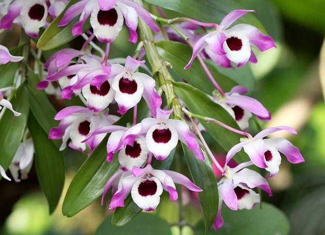 дендробиум период цветения