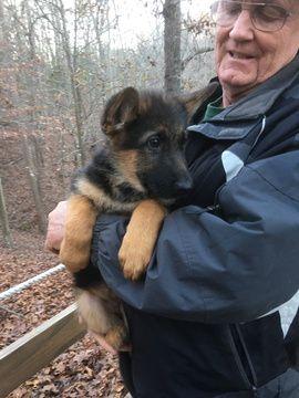 Litter of 6 German Shepherd Dog puppies for sale in DULUTH, GA. ADN-26146 on PuppyFinder.com Gender: Female. Age: 5 Weeks Old
