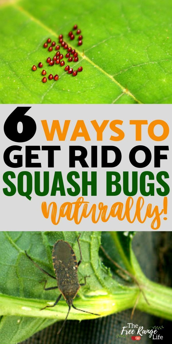 6 Ways To Get Rid Of Squash Bugs In Your Garden Naturally Bugs