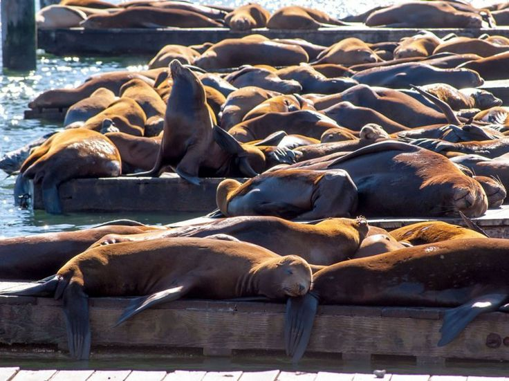 When your ferry returns from Alcatraz, head over to San Francisco's famous Pier 39 and follow the barking sounds to the West Marina K-Dock—where you will find hundreds of California sea lions sunbathing, chatting, and jumping in and out of the water. These lovable creatures first arrived in late 1989. By 1990, the population had grown to 300, pushing out marina tenants. Today, 1,000 sea lions call K-Dock their home each winter. Not headed to California any time soon? Watch the action on the…
