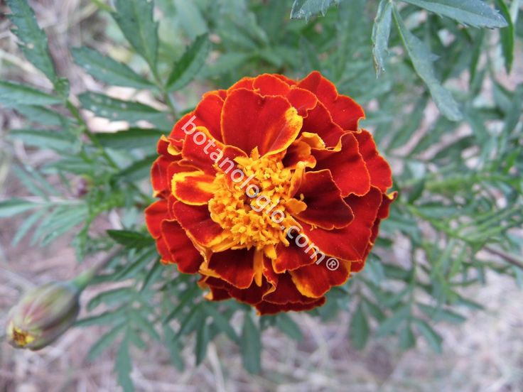 Marigold in full bloom, the best flower to plant near your vegetable garden!