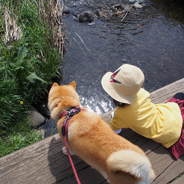 Pinを追加しました!/お魚見えるかな? #shiba #dog #komugi #柴犬 #日本犬 #赤柴 #shibainu #しばわんこ #柴犬大好き #わんこ #狗 #doge #shibe #shibastagram #river #お散歩