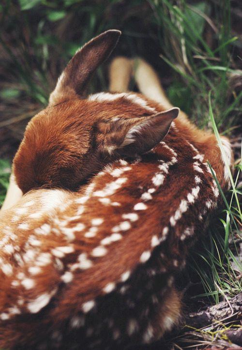 fawn sleeping in the forest