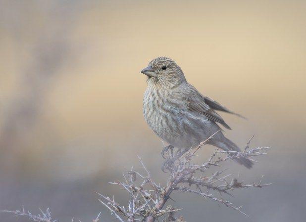 الحسون الوردي الارقط او طائر الجزم الرائع موضوع شامل عن هذا الطائر طيور العرب Finch Rose Bird