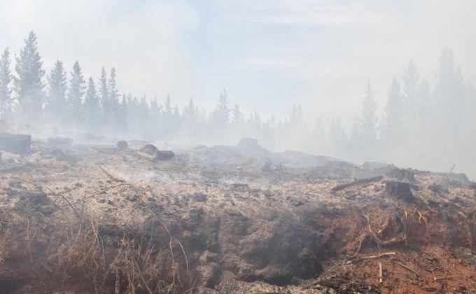 Estado subsidiará reforestación con Pino radiata en zonas afectadas por incendios forestales