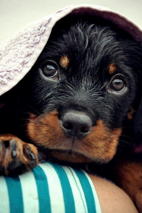 Adorable Rottweiler puppy