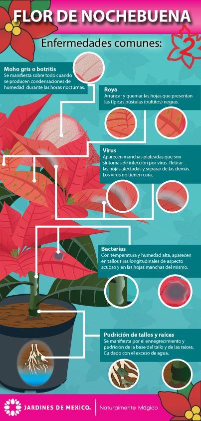 #Infografía, Flor de nochebuena: enfermedades comunes, ¿cómo identificarlas y combatirlas?.  #plagas #jardinería #tips #nochebuena #flor #flores #jardín #jardinesdeméxico