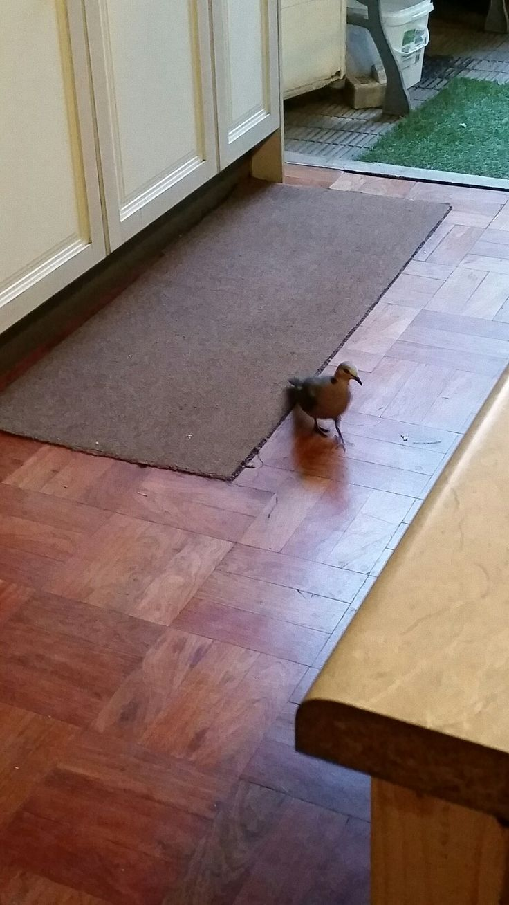 The dove who comes in for a bite.