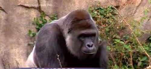 [VÍDEO] Matan a gorila para salvar a niño en zoológico de Ohio...