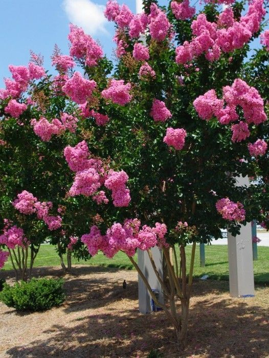 The 25 Best Trees With Pink Flowers Ideas On Pinterest Summer Bedding Plants Sunny And Perennial Gres