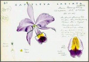 The most infamous lost orchid Cattleya Labiata as illustrated by John Day