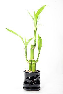 lucky bamboo example of the thriving wood water elements wthe addition baker furniture therian anthropologie plantation home west